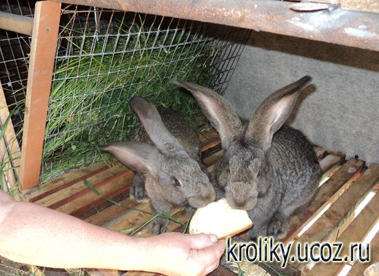 Стоимость выращивания кроликов 25